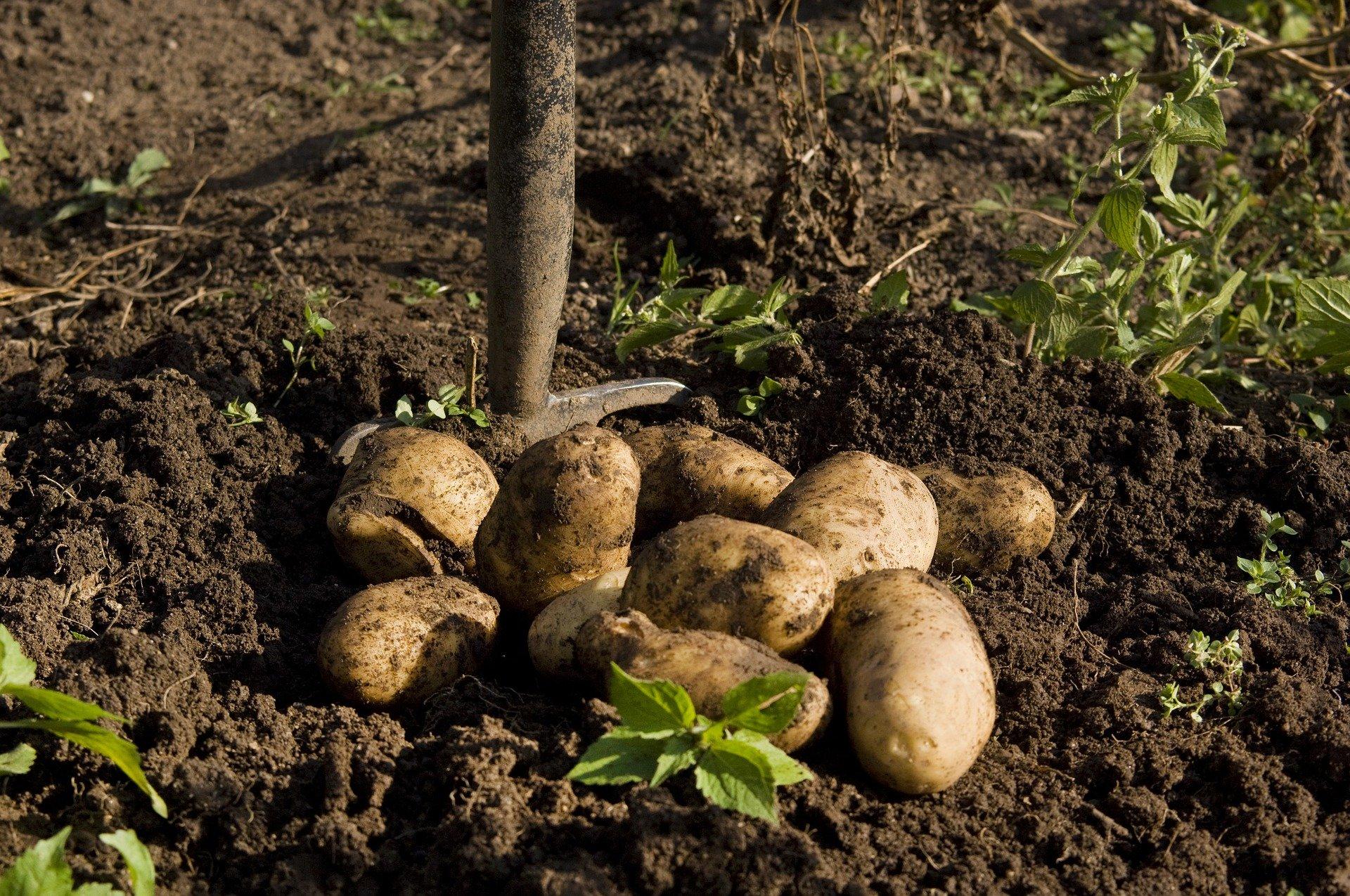 Cultivateur de pomme de terre dans l'Oise